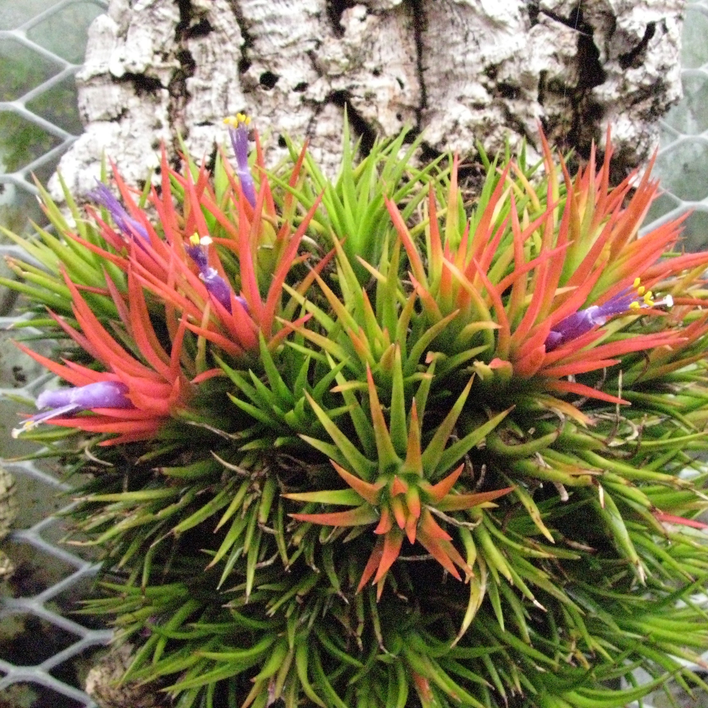 Golocalpdx tumbling over tillandsias top 10 low for Low maintenance colourful plants